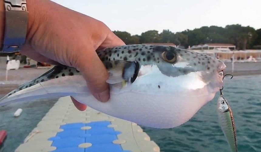 Собирающихся на отдых в Турцию припугнули ядовитыми рыбами фугу